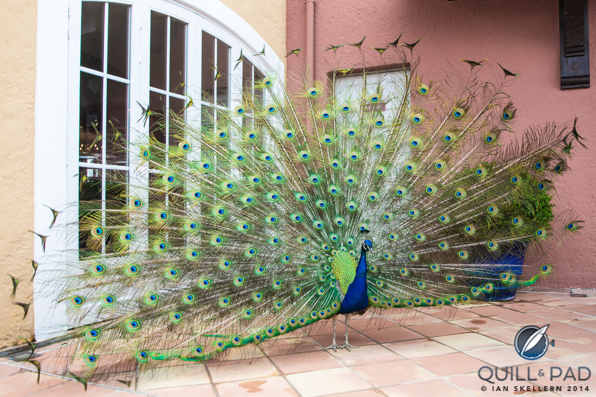 Peacock at the Hotel Byblos in Saint Tropez